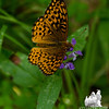 Great Spangled Fritillary (Speyeria cybel) on Heal-all (Prunella vulgaris)