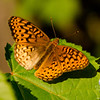 Great Spangled Fritillary (Speyeria cybel)