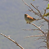 I think this is perhaps a male White-Crowned Sparrow sporting his dusky summer colors. What do you think?