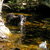 OK, we're on the trail now. Emma cools off in a brook along The Old Jackson Road.