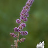 """I think this is Steeple Bush (Spiraea tomentosa) also known as """"Hardhack""""."""