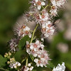 Meadow Sweet (Spiraea alba var. latifolia)