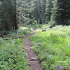 Your typical alpine single track layout.  Woods are very healthy with lush greenery everywhere.