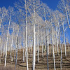 The blue sky, white aspen trunks and brown grass make for interesting color combinations.