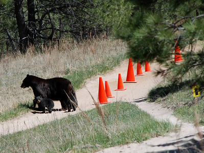 Bears on the Course - Ascent Cycling MTB Series - Palmer Park