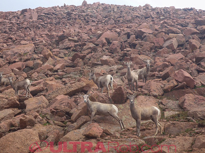 Big Horn Sheep Along Pikes Peak Highway