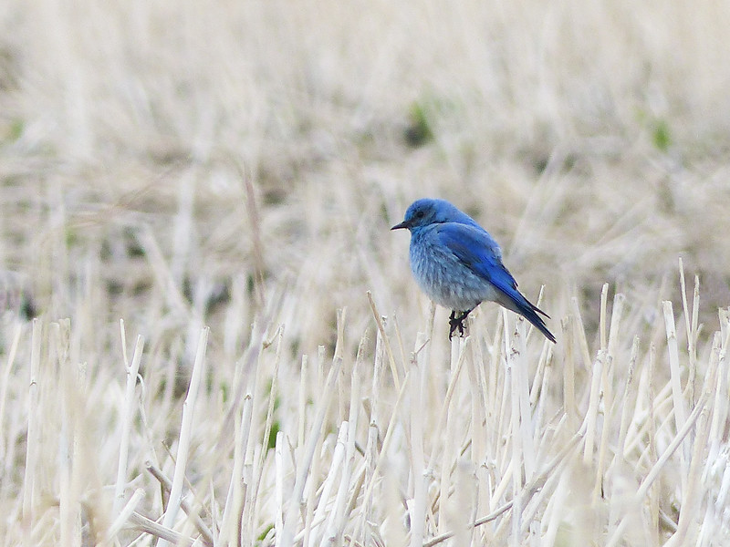 45  Mountain Bluebird in a field of stubble