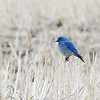 45  Mountain Bluebird in a field of stubble