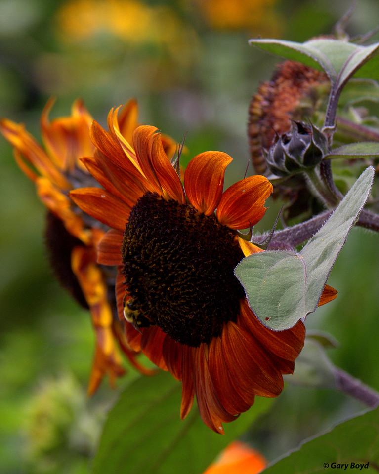 Sunflowers -  Mast Farm Inn