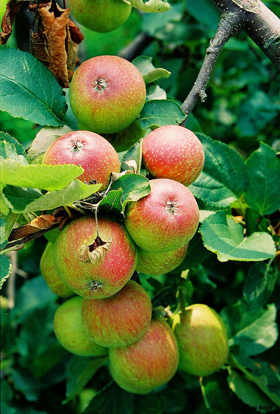 Mountain Apples