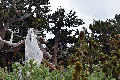 Mount Goliath Natural Area, near timberline on the Mount Evans Scenic Byway.