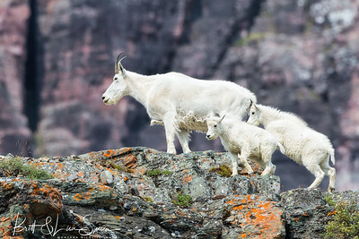 Mountain Goat Nanny With Babies