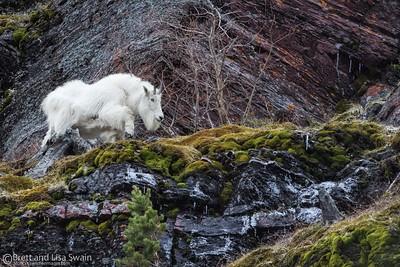 White on Green-Mountain Goat Nanny