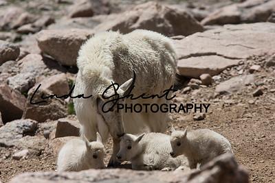 Mount Evans Mountain Goats #2