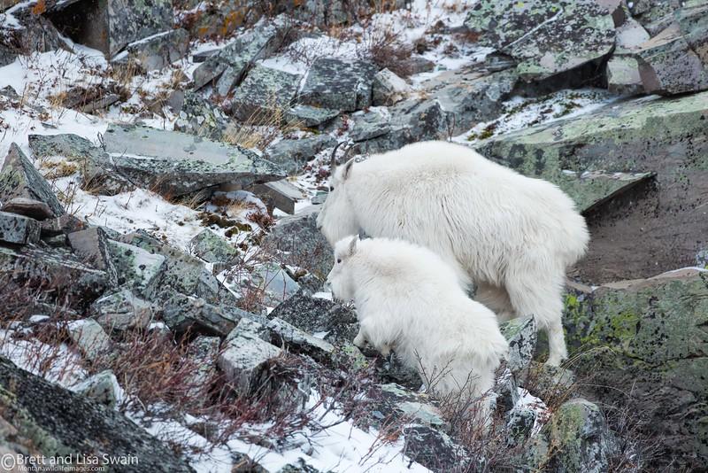 Winter Coats-Mountain Goats