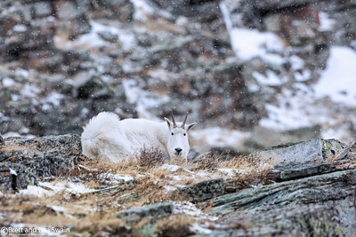 Mountain Goat Nanny-Winter in the Rockies