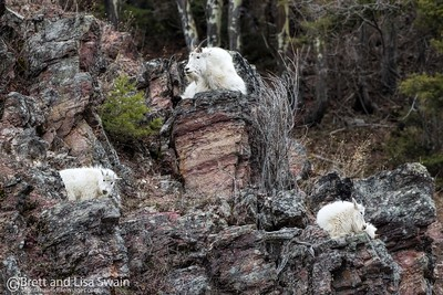 Mountain Goats At Rest