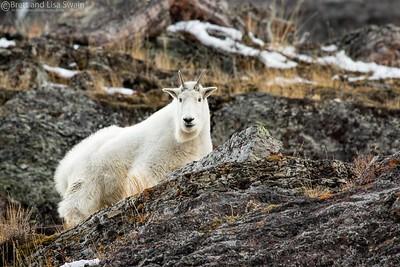 Nanny Mountain Goat