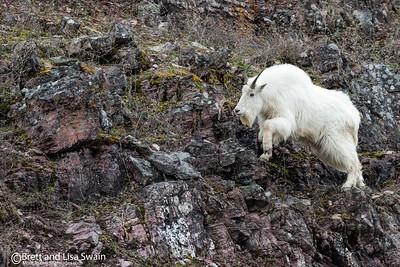 Mountain Goat Billy