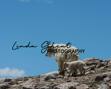 Mount Evans Mountain Goats #3