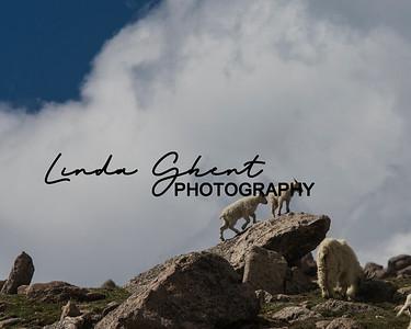 Mount Evans Mountain Goats #20