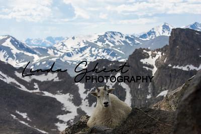 Mount Evans Mountain Goats #17