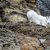 Mountain Goat in the Cliffs