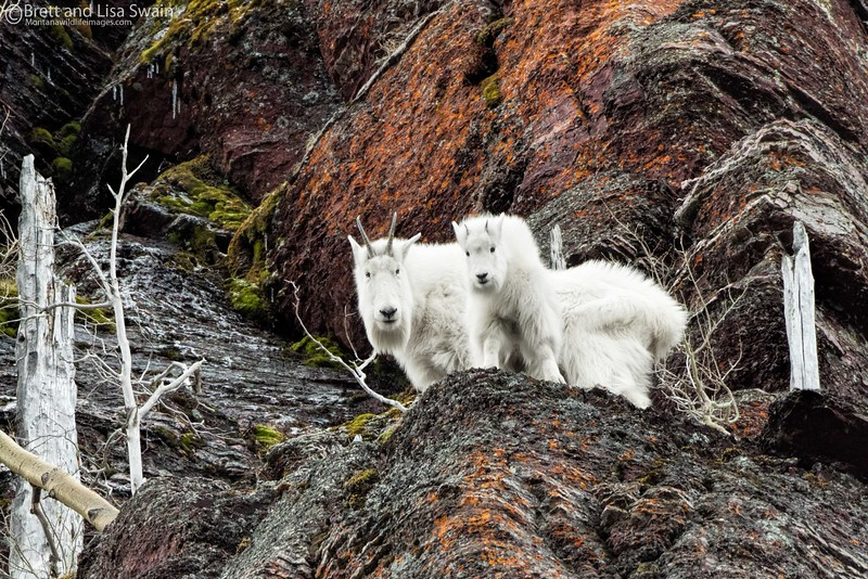 Mountain Goats in the Colorful High Country