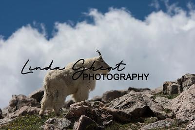Mount Evans Mountain Goats #11