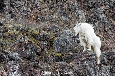 Mountain Goat Posing