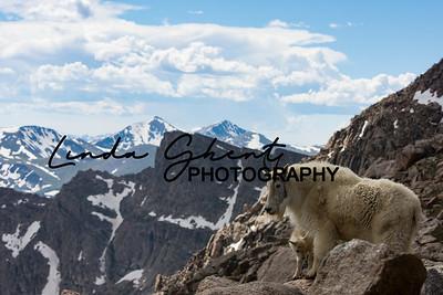 Mount Evans Mountain Goats #18