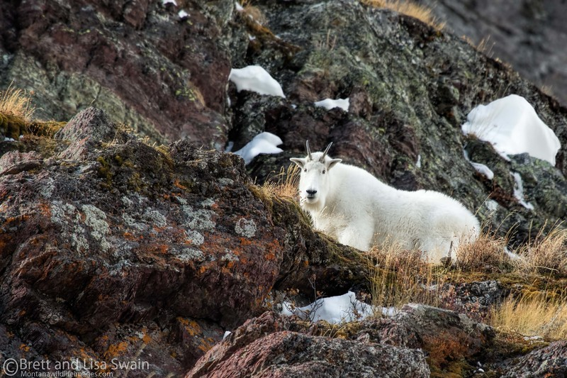 Mountain Goat Nanny in October