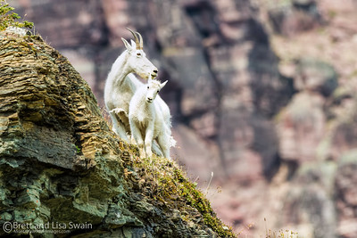 Mama and Baby Mountain Goats