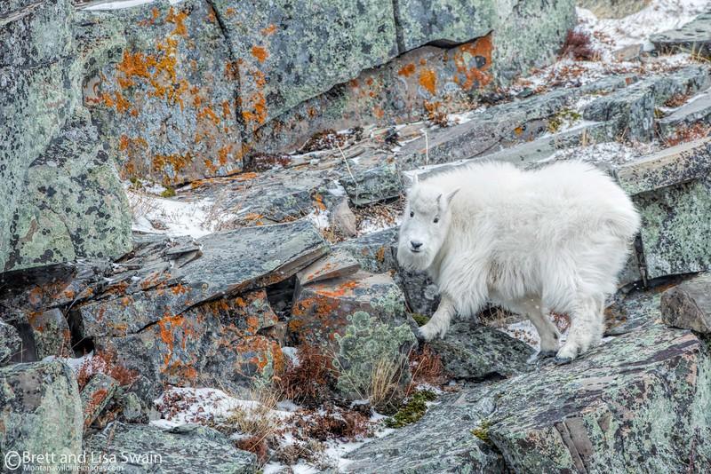 Mountain Goat Kid In Winter
