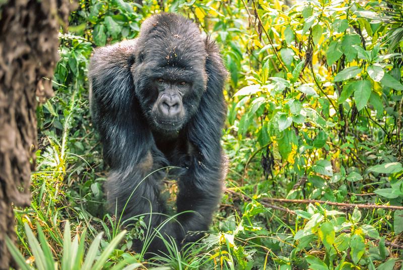Male mountain gorilla on volcanoes mountain, Rwanda.