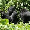 Kigoma and Magumu, two junior silverbacks
