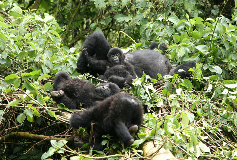A female mountain gorilla trying to sleep while several babies play nearby