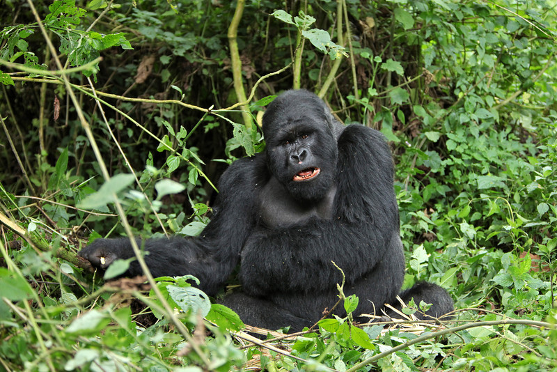 Akarevuro, the silverback who took control of the Kwitonda group after his death
