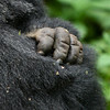 Detail of the hand of one of the silverbacks