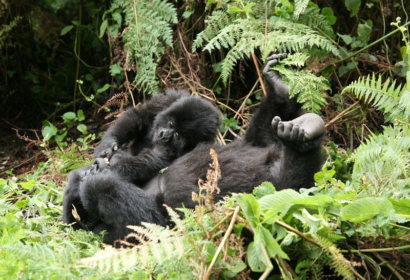 A female gorilla tries to rest whilst being pestered by her active youngster