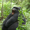 Kigoma, one of the two junior silverbacks in the group