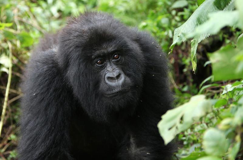 A juvenile of the Kwitonda group