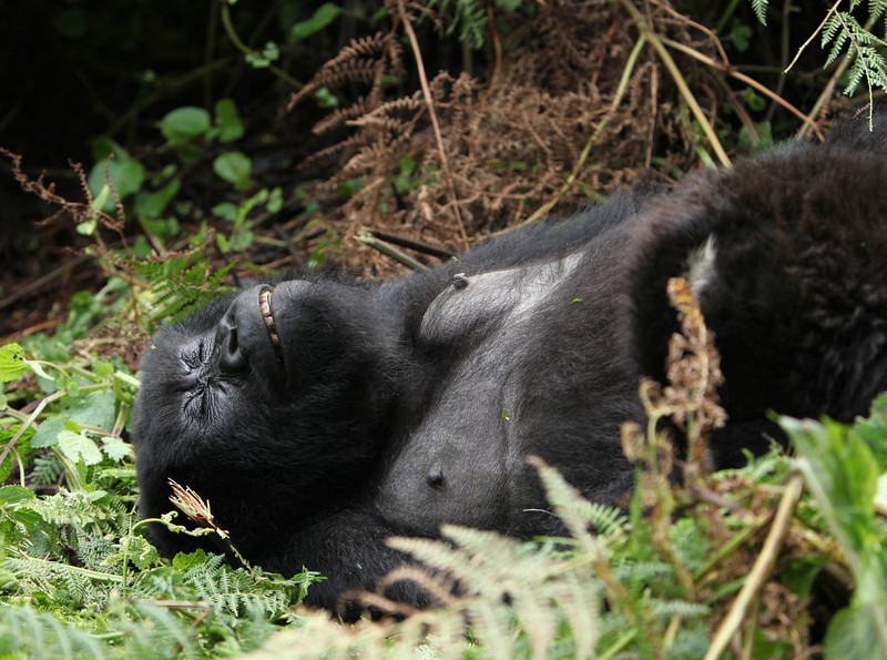 Gorillas are not at their most attractive when sleeping!