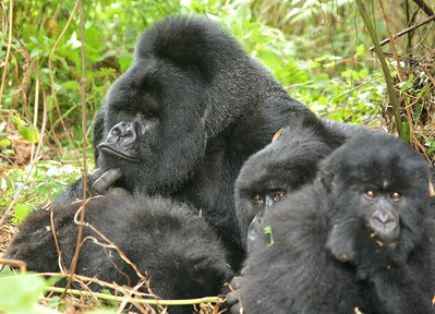 Munyinya and two of his females