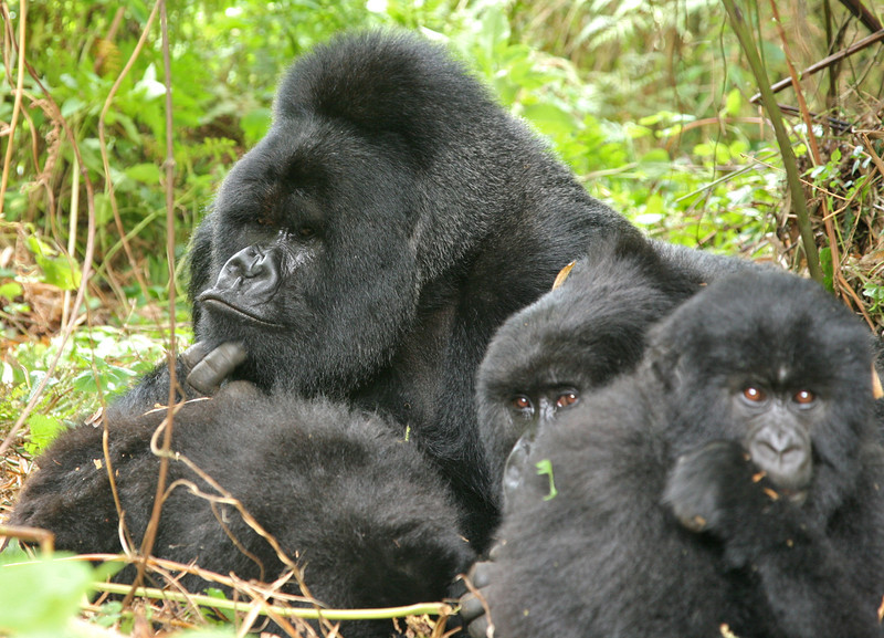 Munyinya and two of his females
