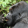 Kwitonda, the silverback at the time, now sadly deceased