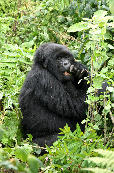 One of the females of the group feeding