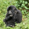 A very cheeky and active young mountain gorilla