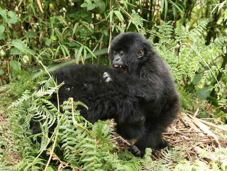 Young mountain gorillas play-fighting