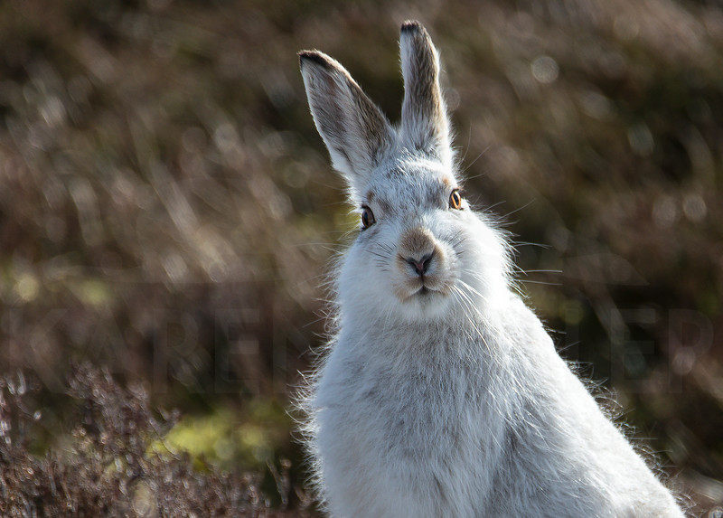 Mountain hare, March 2017